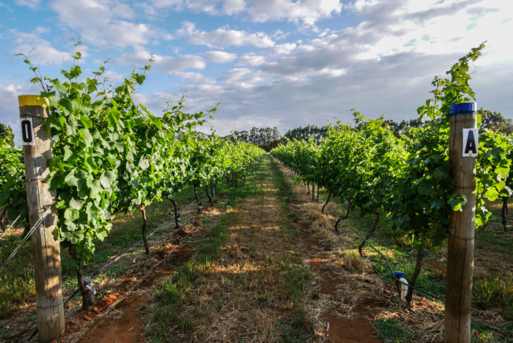 Lentedal Vineyard