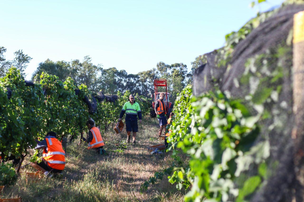 Grape harvesting in Lentedal vineyard